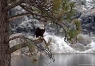 eagle-ina-tree